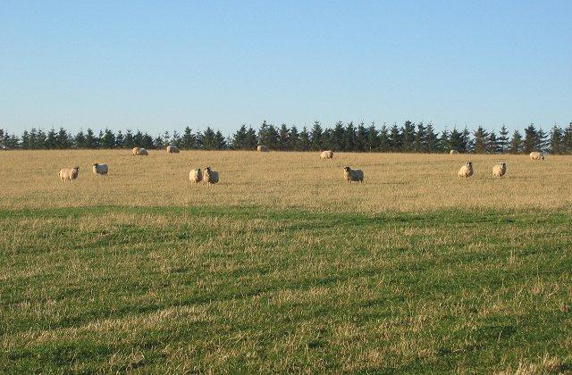 Sheep,  Aikeyside Farm.