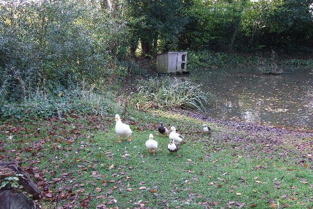 Dunsmore village pond and its inhabitants!