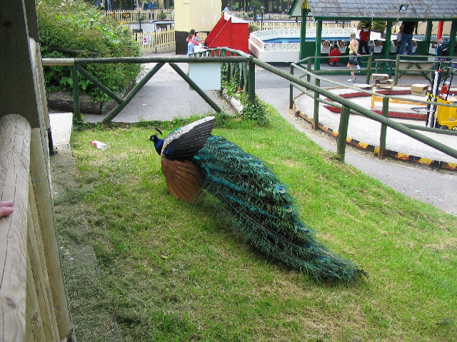 Peacock at Trago Mills