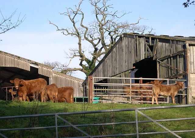 Cattle in a Farmyard at Horsham