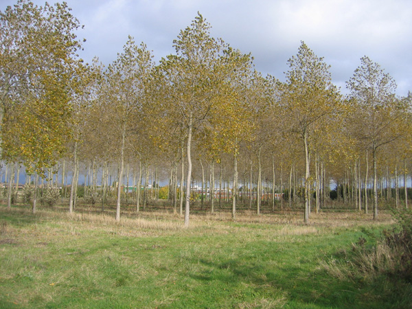 Poplar plantation, Silsoe, Beds