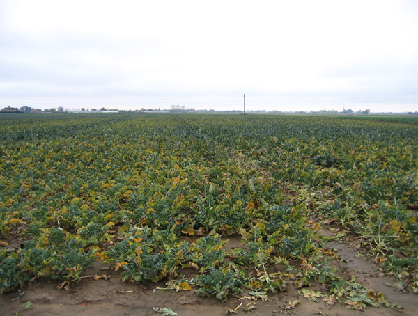 Large field of broccoli, Quadring Eaudike, Lincs