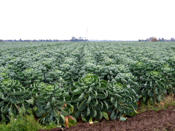 Nice crop of brussels, Swineshead, Lincs