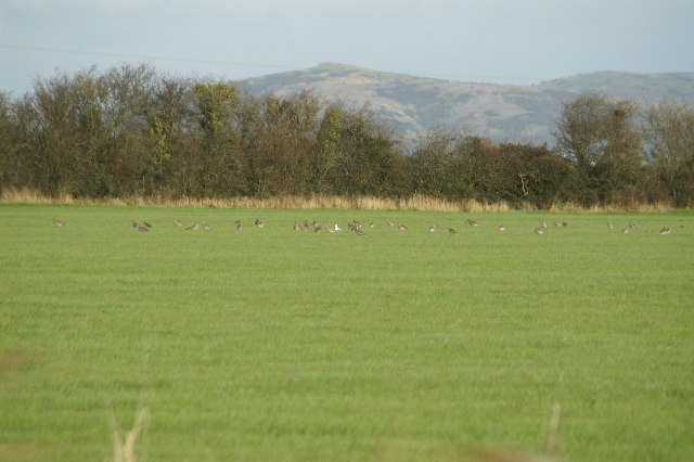 Field with Curlews