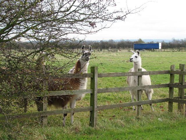 Llamas At The Fence.