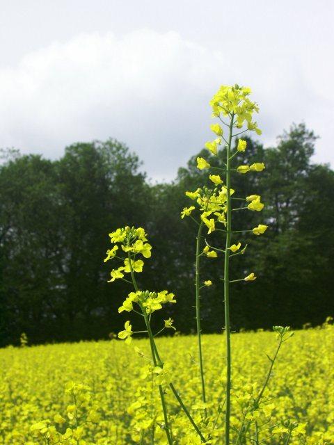 Rape seed field, near Hastoe