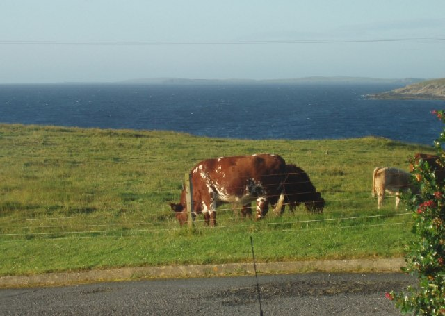 Cows graze on the edge of Voe of Sound, Shetland