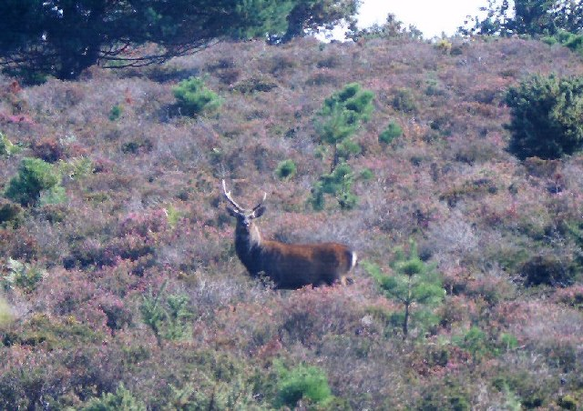 Deer in the Heath at Arne
