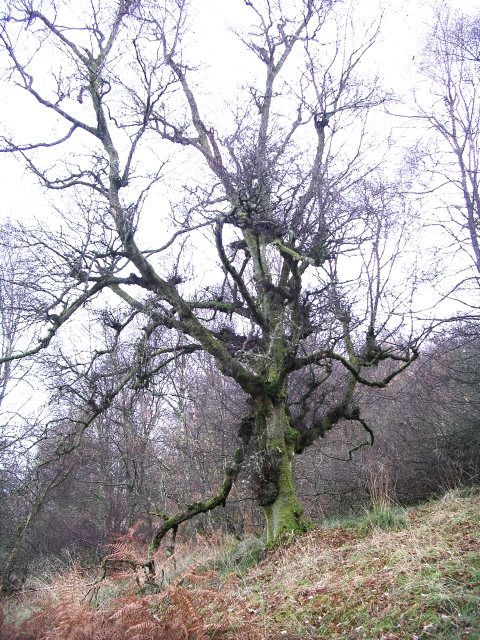 Old Tree, Birnam Wood