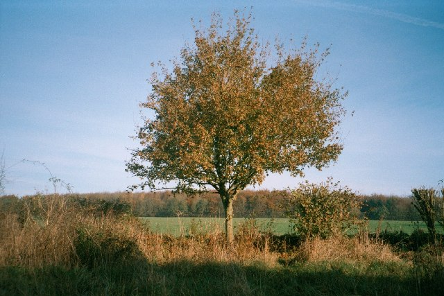 Tree and Ash Copse