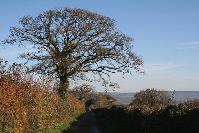 Cullompton: oaks in Beacon Lane