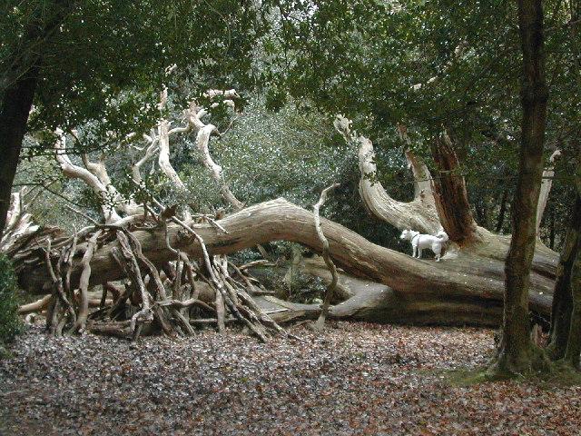 Fallen tree in New Forest