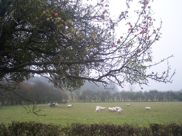 Sheep and Apple Tree, Nup End