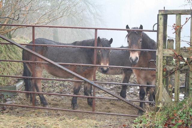 Dulverton: Exmoor ponies near Ashwick