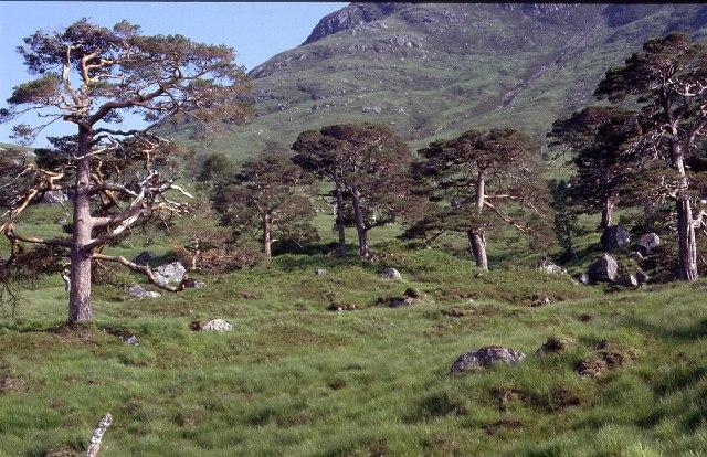 Scots Pine, Loch Dochard