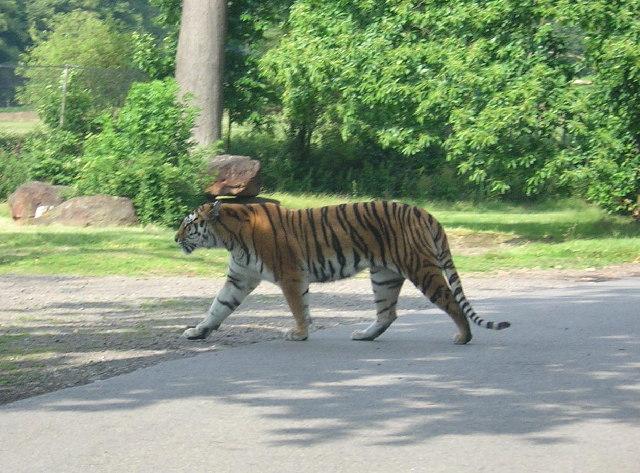 Woburn Safari Park Tiger Enclosure