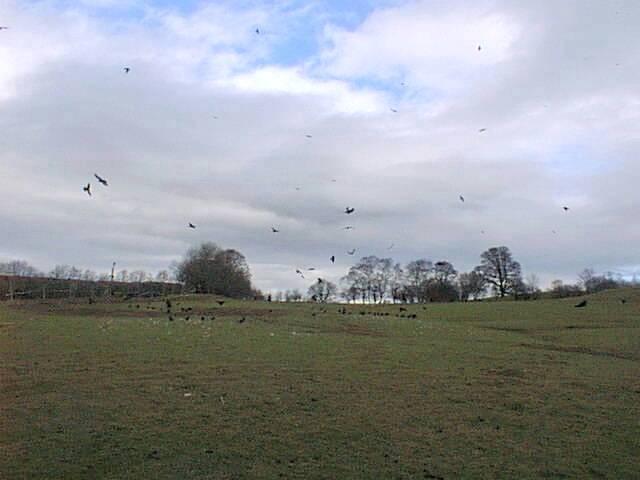 Red Kite feeding near Rhayader