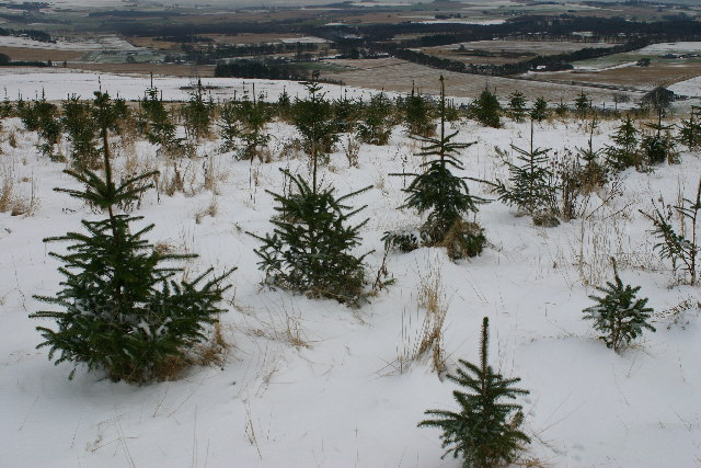 Xmas trees on Hill of Rothmaise