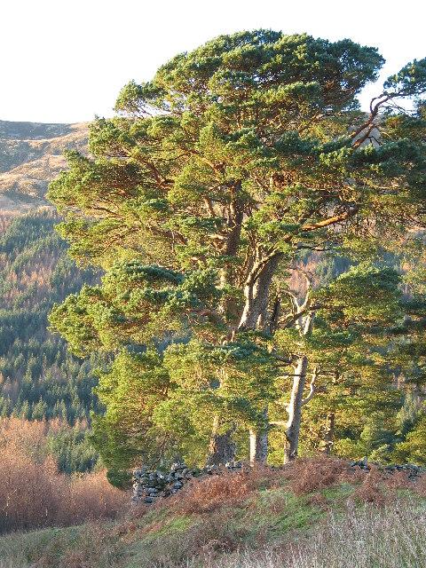 Scots Pine at Invergaunan, Glen Orchy