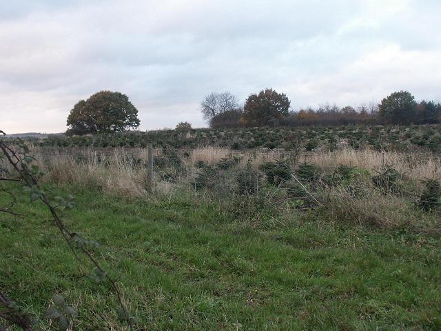 Christmas Trees, near Great Melton