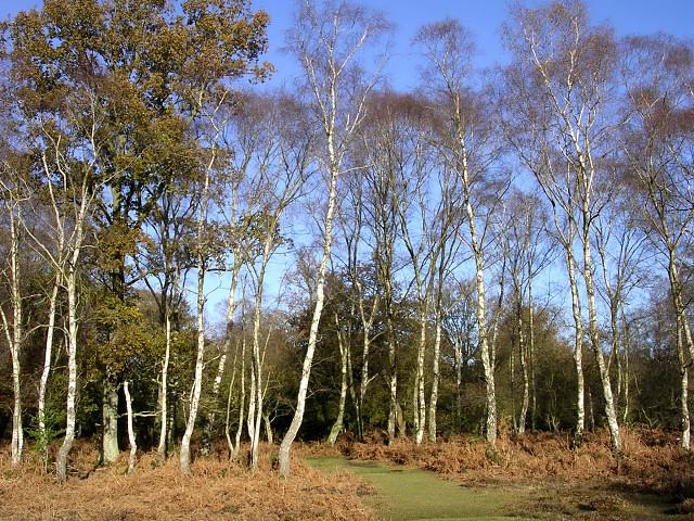 Silver birch on the edge of Brinken Wood, New Forest