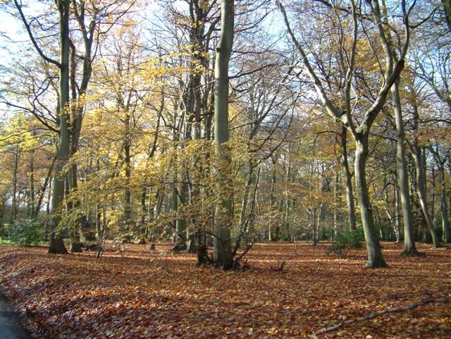 The Beechwoods in Autumn