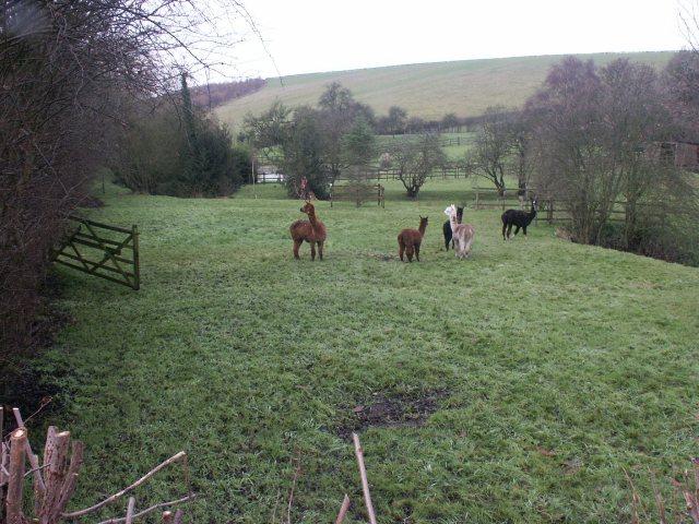 Llamas, Toadhole, Selston