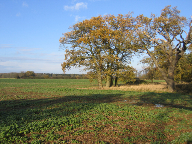 Oaks in farmland, Upton, Peterborough