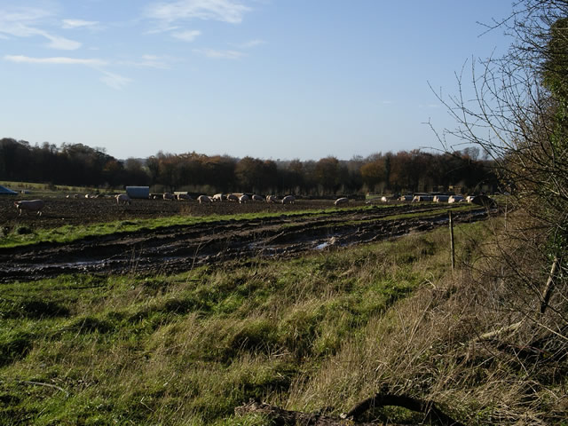 Free-range pigs near Wallers Ash