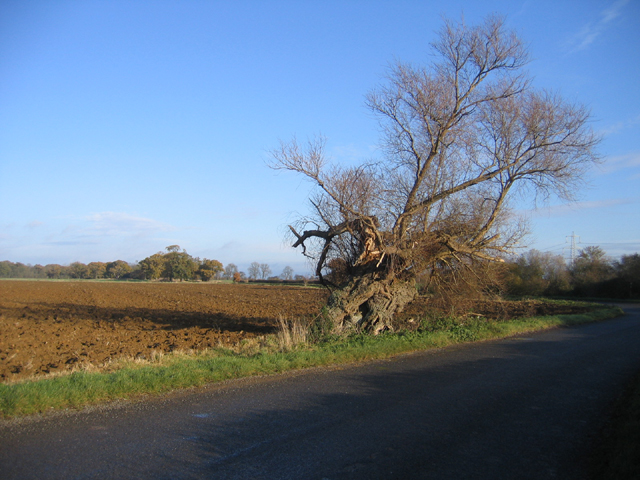 Contorted willow, Upton, Peterborough