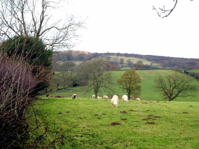 Sheep graze near Upper Town Farm