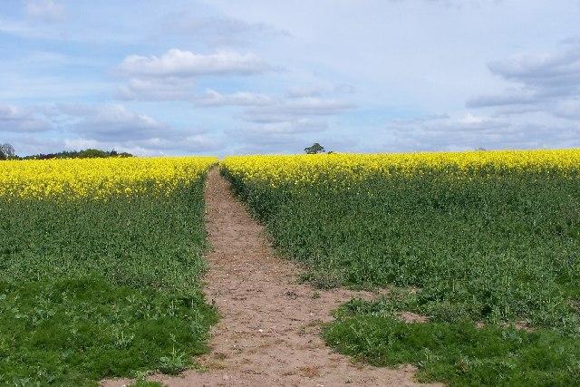 Footpath through early rape crop
