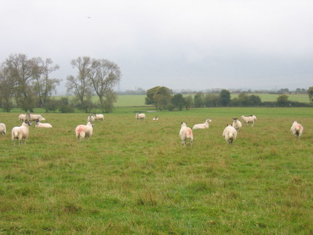 Sheep in a field near Hall End Farm