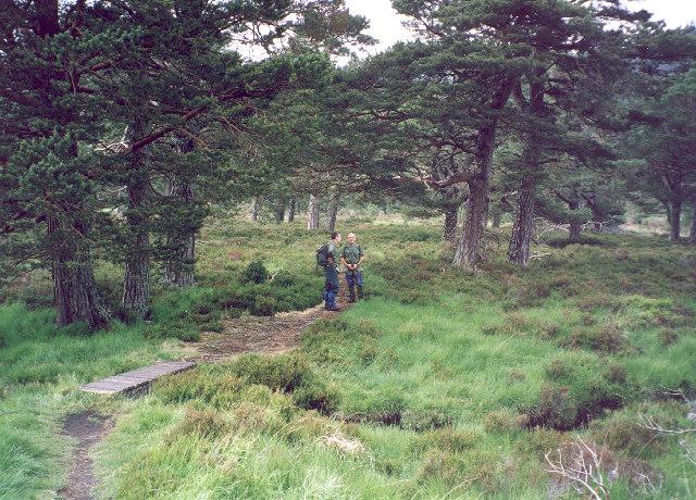 Caledonian Pine woods near Loch an Eilein