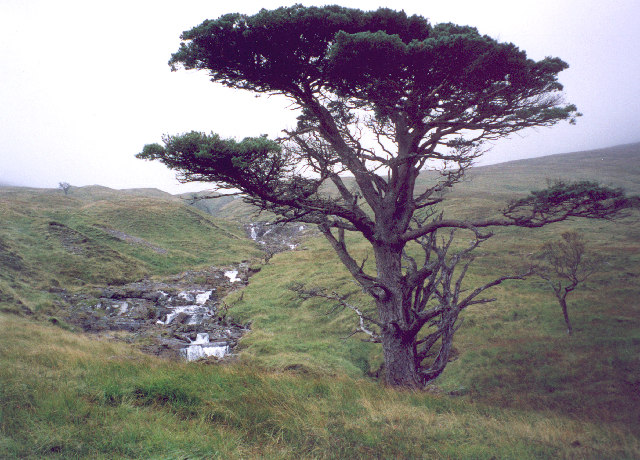 a Caledonian Pine by the Allt Coire an Lochain