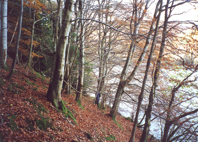beech woods above Loch Faskally