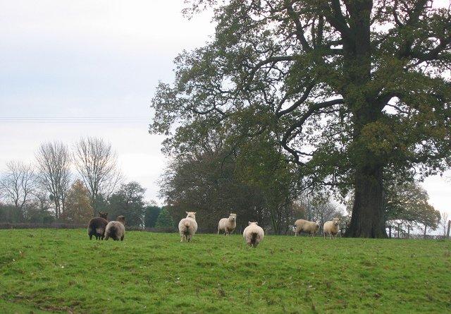 Ryeland Sheep.