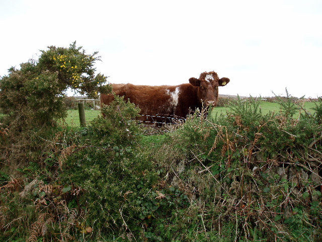 Heifer and hedge on No Go By hill