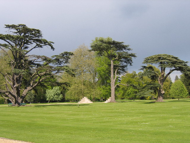 Cedars in the grounds of Wilton House, Wilton, Wiltshire