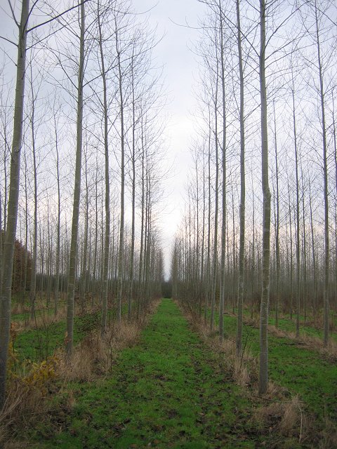 Poplars, Berrington.