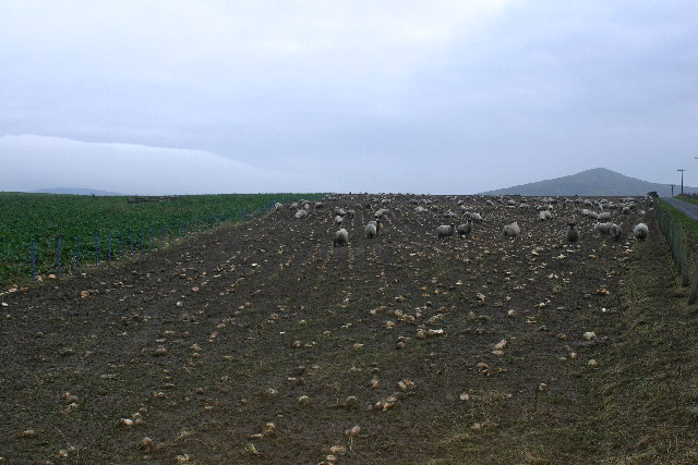 Sheep in a turnip field