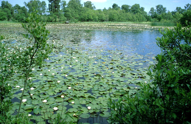 Corner of Loch Kinord with water lilies.