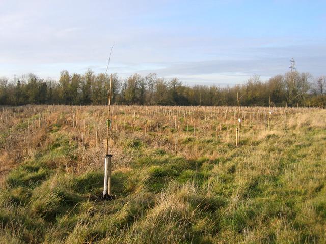 New plantation, Dry Drayton, Cambs