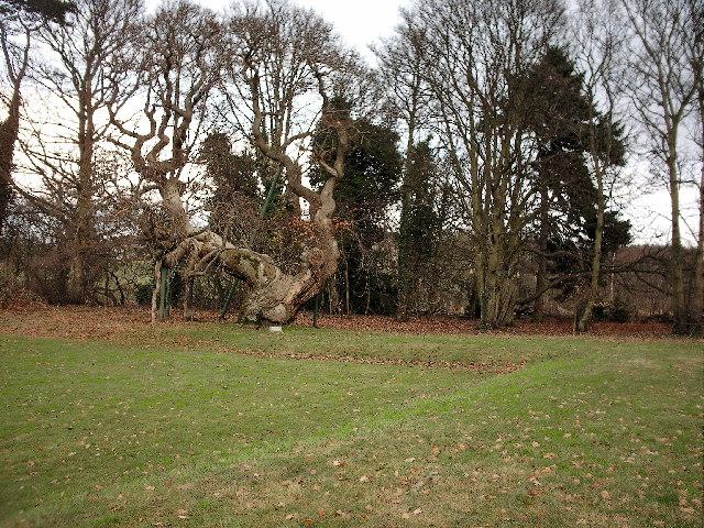 Spanish Chestnut Tree at Balmerino Abbey