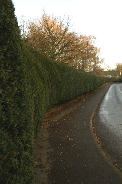 Long yew hedge growing on top of low wall