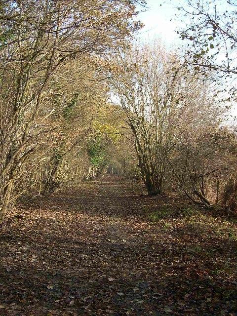 Avenue of trees - near Ridge Farm