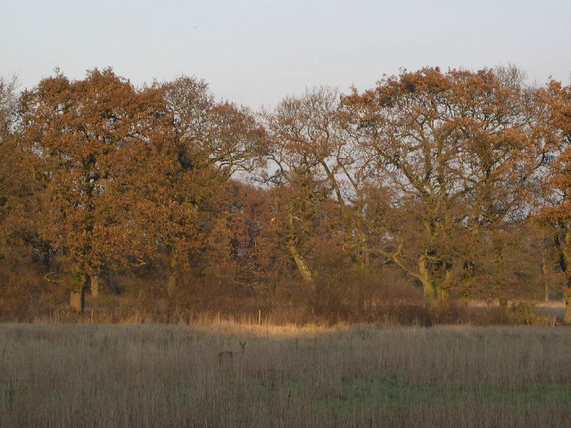 Deer behind Whiteley Cottages