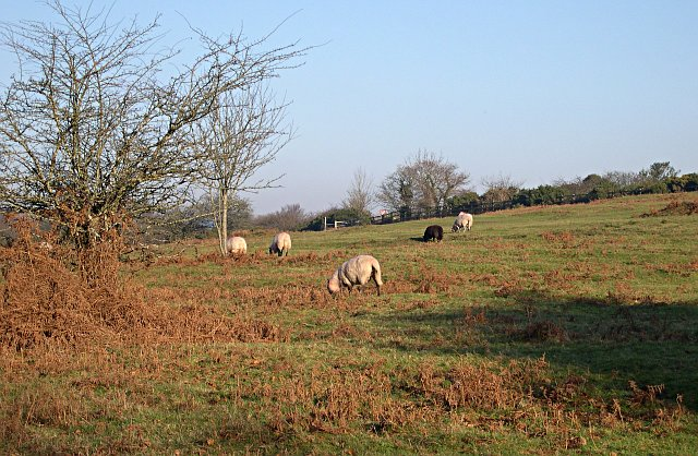 Sheep Grazing on Roborough Down