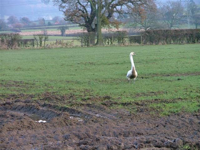 Mucky Duck, in a Field Just off the Cleveland Rein.