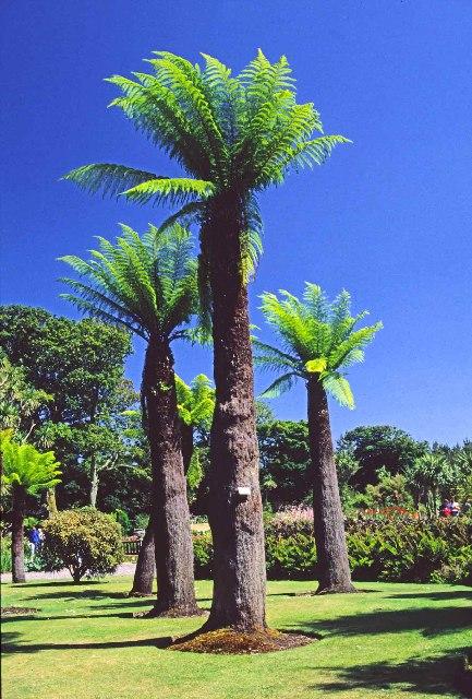 Tree Ferns at Logan Botanic Garden, Mull of Galloway